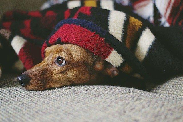 En hund ligger på en sofa med tæppe over sig